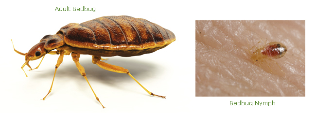 Adult and Nymph Bedbugs